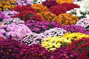 Vente de fleurs de la Toussaint au profit de l'école de Max Savy